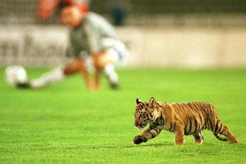 Tigrić, maskota Obilića, šetka se po terenu uoči utakmice Obilić - Bajern